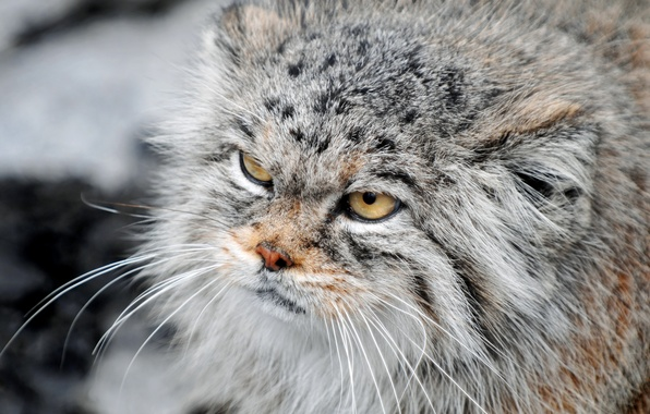 Picture cat, look, manul, harsh, fluffy