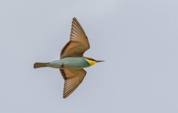 Picture the sky, flight, wings, Golden bee-eater
