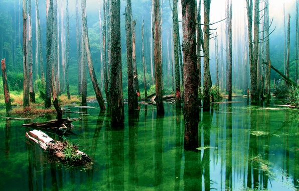 Picture forest, water, trees, nature, trunks, swamp, dry
