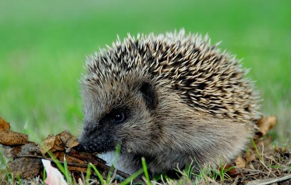 Picture needles, barbed, hedgehog, hedgehog