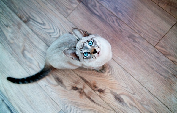 Picture cat, look, Cat, muzzle, blue eyes, Siamese