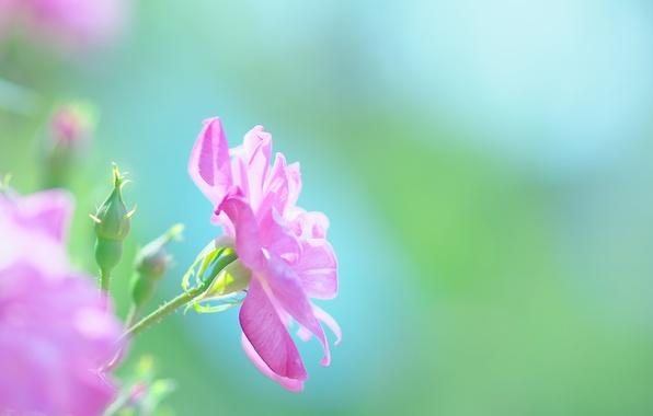 Picture summer, macro, flowers, nature, mood, pink, Japan