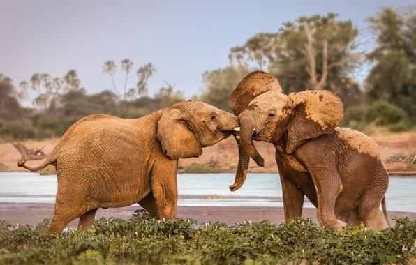 Picture elephants, Africa, fighting, wildlife, Kenya, Samburu