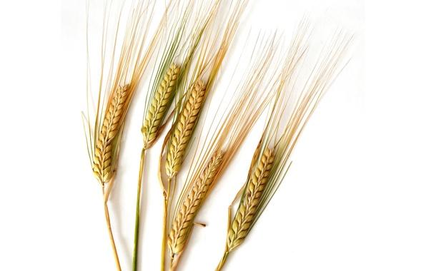 Picture nature, grain, plant, ears