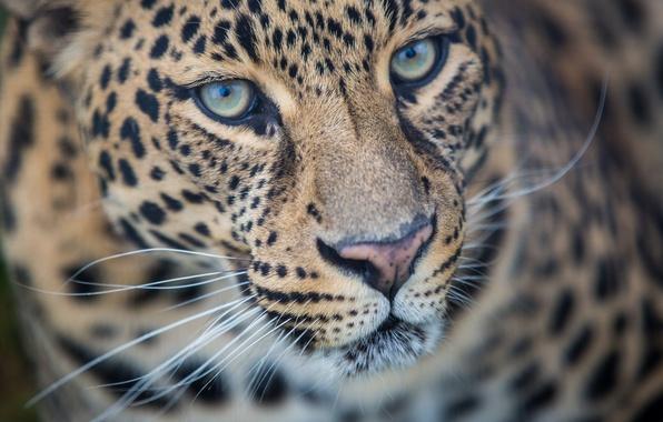 Picture face, predator, leopard, wild cat