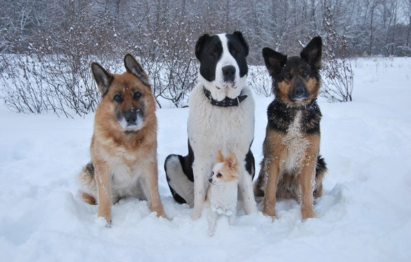 Picture winter, dogs, snow, friends, Chihuahua, shepherd, Alabai