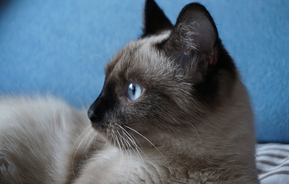 Picture cat, eyes, mustache, look, background, beauty