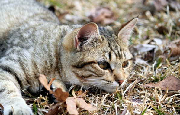 Picture eyes, cat, look, leaves, nature, animal, legs, muzzle, lies, ears