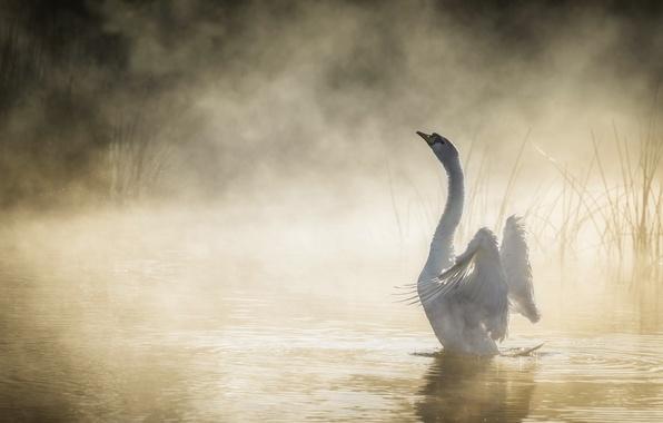 Picture fog, lake, Swan