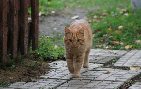 Picture cat, look, cats, animal, village, red, walk