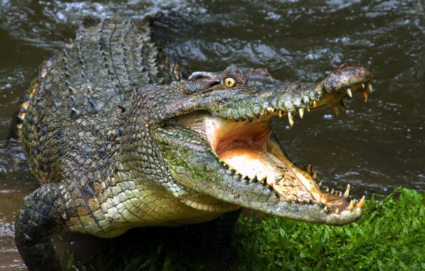 Picture teeth, crocodile, mouth
