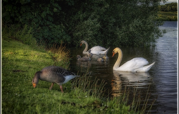Picture summer, grass, birds, nature, lake, shore, duck, swans, the bushes