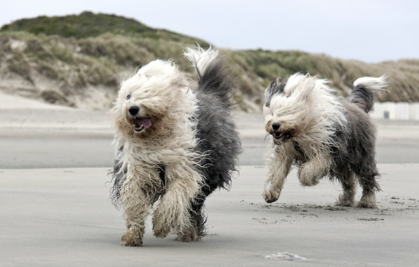 Picture dogs, beach, running
