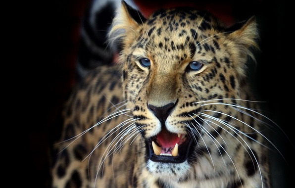 Picture mustache, look, background, Wallpaper, fluffy, beautiful, leopard, grin, dark, panthera pardus orientalis