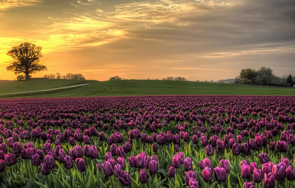 Picture field, the sky, sunset, nature, Denmark, tulips