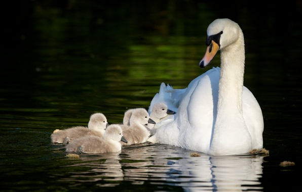 Picture swans, Chicks, motherhood, the Lebeda