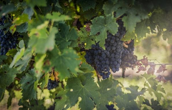 Picture the sun, light, blue, glare, berries, foliage, blur, fruit, grapes, bunch, vineyard, green