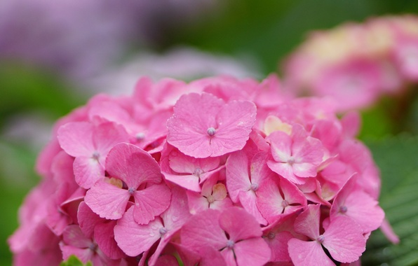 Picture flower, drops, Rosa, pink, hat, hydrangea, inflorescence