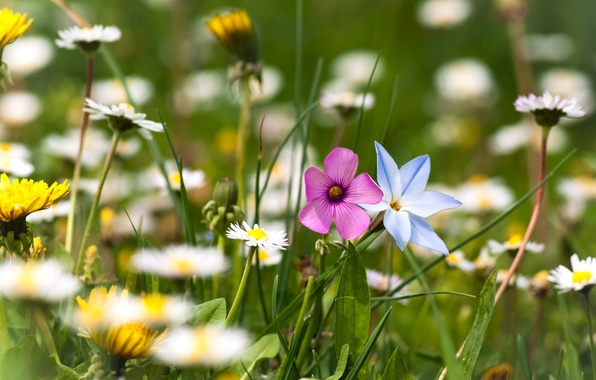 Picture greens, summer, grass, flowers, nature, glade, chamomile, plants, blur