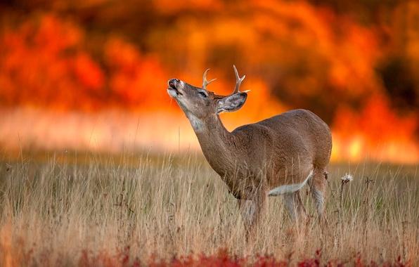 Picture autumn, deer, wildlife, Autumn Fire