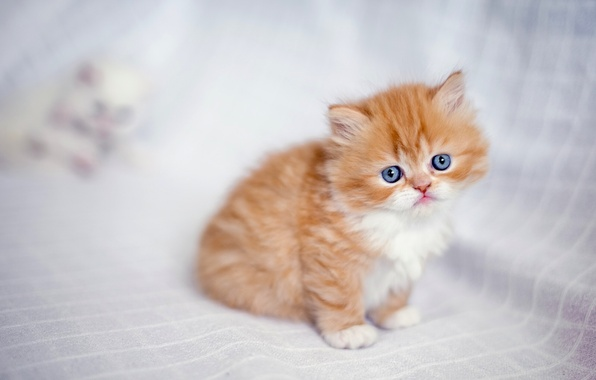 Picture baby, red, kitty, ginger kitten, Persian cat