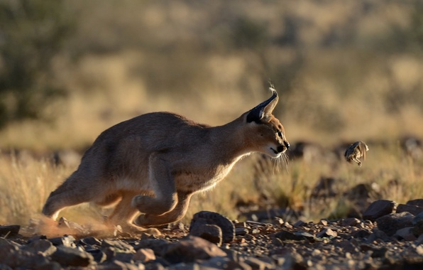 Picture predator, hunter, mining, Caracal, steppe lynx, Caracal