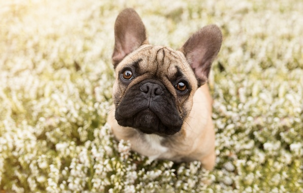 Picture look, face, flowers, dog, bulldog, French bulldog