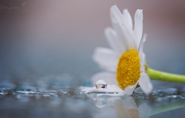 Picture white, flower, water, macro, flowers, yellow, Rosa, background, widescreen, Wallpaper, drop, petals, Daisy, wallpaper, flowers, …