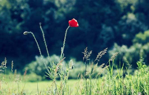 Picture flower, summer, grass, red, nature, Mac, focus