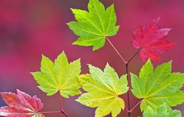 Picture autumn, leaves, color, branch, maple