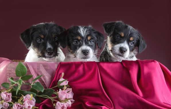 Picture roses, puppies, trio, Jack Russell Terrier