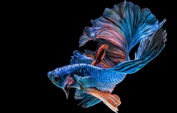 Picture black, blue, fish