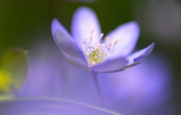 Picture flower, blue, one, focus, middle, razmytost