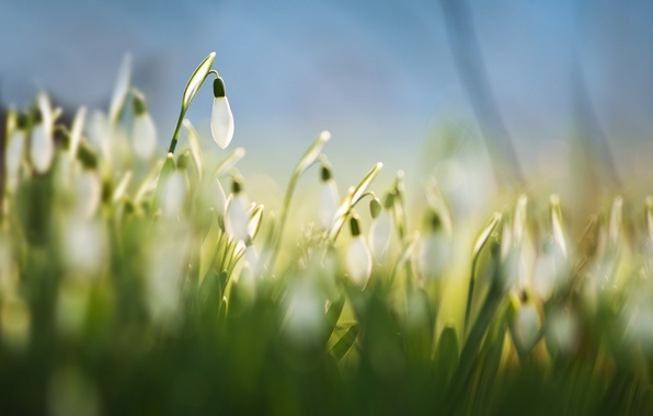 Picture grass, macro, flowers, background, blue, spring, blur, white, Snowdrops, Galanthus