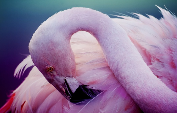 Picture pink, bird, feathers, Flamingo, neck, pink flamingos