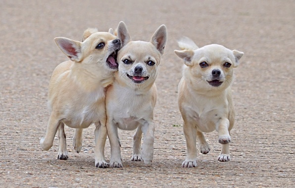 Picture dogs, walk, friends, three, comrades, Chihuahua