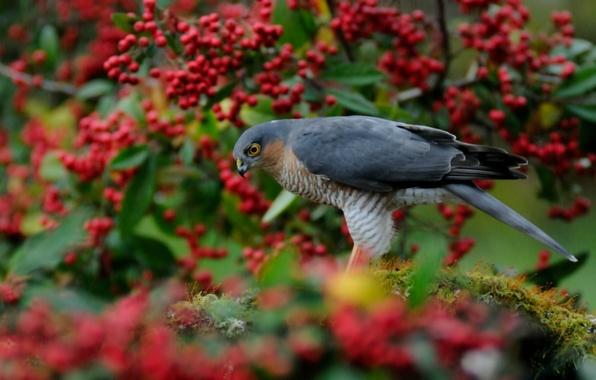 Picture berries, tree, bird, blur, red, hawk, Sparrowhawk