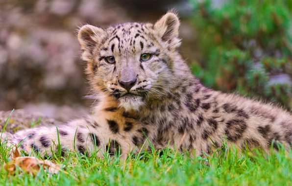 Picture face, lies, IRBIS, snow leopard, snow leopard, kitty, looks