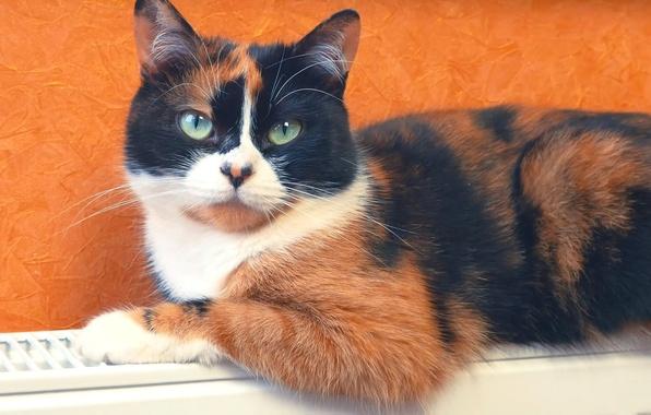 Picture Cat, Wallpaper, Cat, SlivkiShow, Cookies