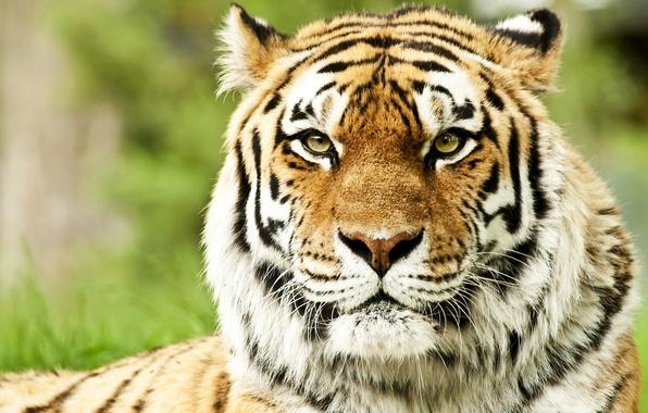 Picture face, predators, wild cats, muzzle, Siberian tigers