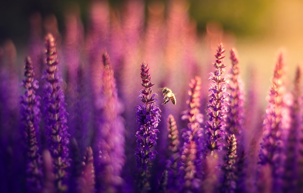 Picture field, flowers, nature, bee, lilac, bokeh, Lavender