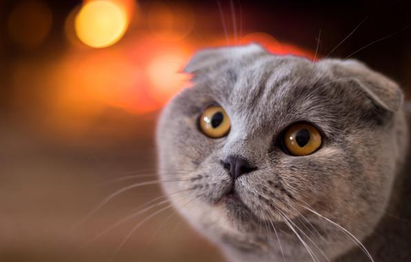 Picture cat, cat, look, muzzle, Scottish fold, Scottish fold cat