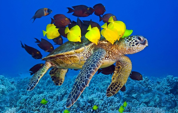 Picture The WORLD, The OCEAN, TURTLE, PACK, YELLOW, PODVODNI, FISH