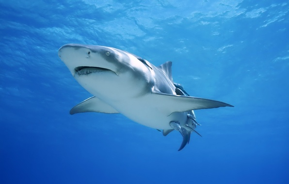 Picture shark, large, white