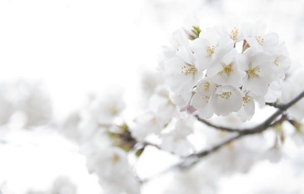Picture macro, light, flowers, cherry, tenderness, color, branch, spring, petals, Sakura, white, flowering