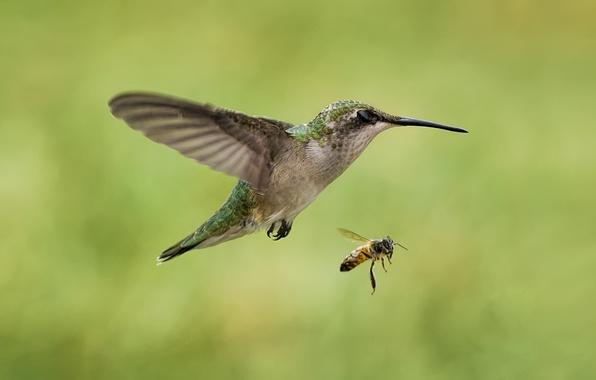 Picture bee, bird, Hummingbird, insect, in flight