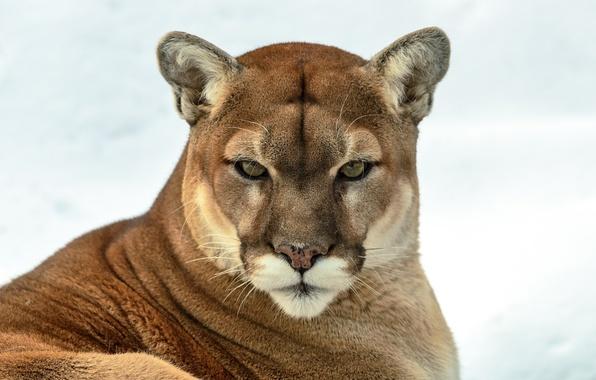 Picture look, predator, Puma, wild cat, mountain lion, Cougar