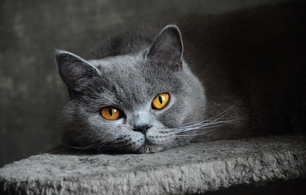Picture cat, eyes, look, grey, blue, British, Shorthair