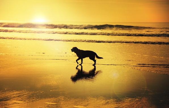 Picture wave, beach, reflection, sunrise, shadow, dog, mirror, solar