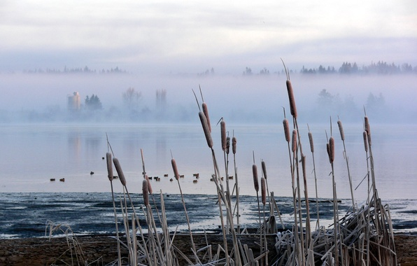 Picture fog, swamp, reed, Cattail